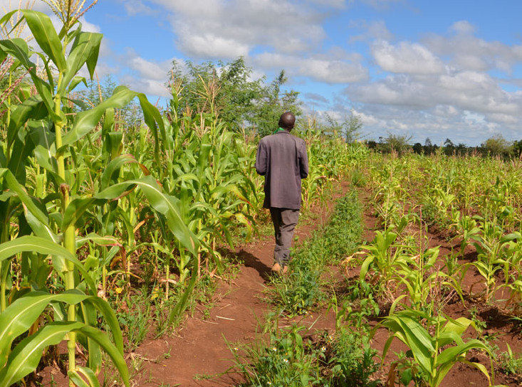 Agricultural farm - MAAN to engage 500,000 farmers in maize farming