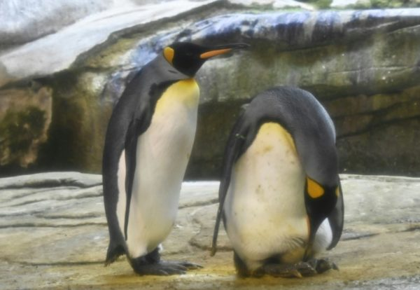Gay Penguins Adopt Egg After Trying To Hatch Stone